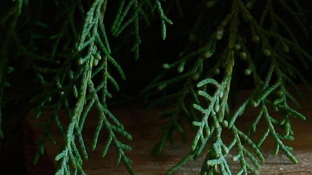 Velas con verde Ciprés